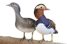 Mandarin Duck, Aix Galericulata.