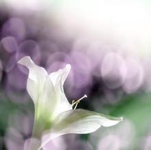Amaryllis Flower And Sun Bokeh