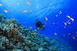 canvas print picture - Scuba Diver explores a coral reef