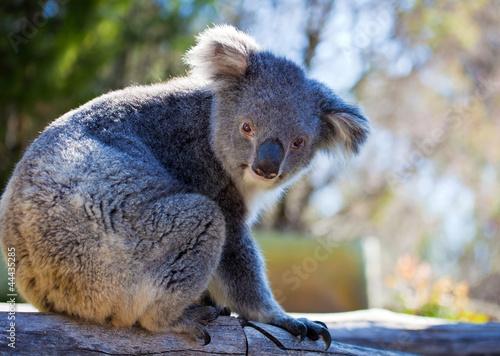 Garden Poster Koala Koala, Australia