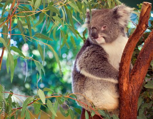 Fototapeta premium Koala, Australia