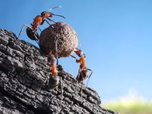 Team Of Ants Rolls Stone Uphill, Teamwork Concept