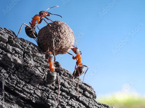 Fotografie, Obraz team of ants rolls stone uphill, teamwork concept