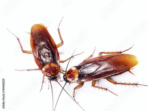 Foto Dos cucarachas en fondo blanco,insecto desagradable.