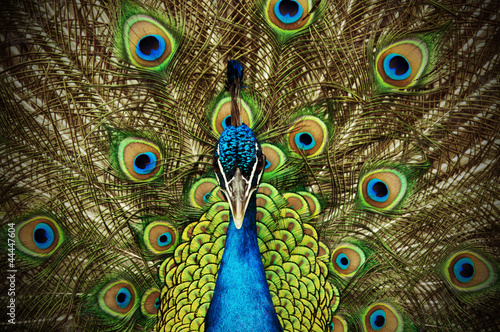 In de dag Pauw Peacock 1
