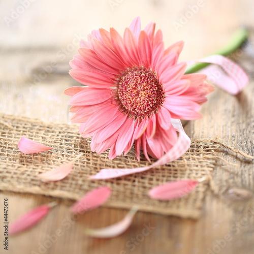 Obraz Różowa gerbera - fototapety do salonu