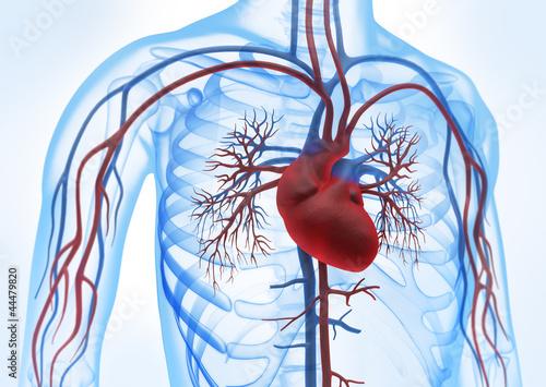 Herz-Kreislauf vor weiss 3