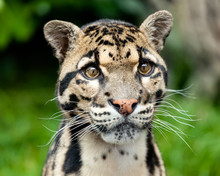 Head Shot Portrait Of Beautiful Clouded Leopard