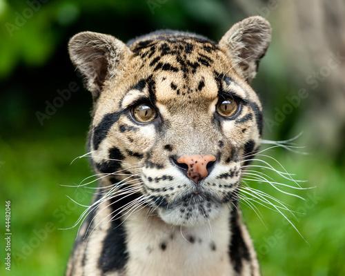 Montage in der Fensternische Leopard Head Shot Portrait of Beautiful Clouded Leopard