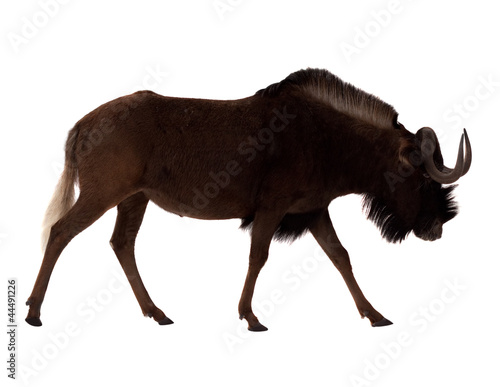 white-tailed gnu. Isolated over white