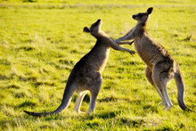 Two Male Kangaroos Are Boxing