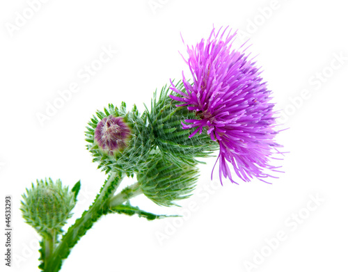Tablou Canvas Inflorescence of Greater Burdock. on white background