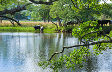 Cattle Drinks From The River Lochay, Near Killing, Scotland