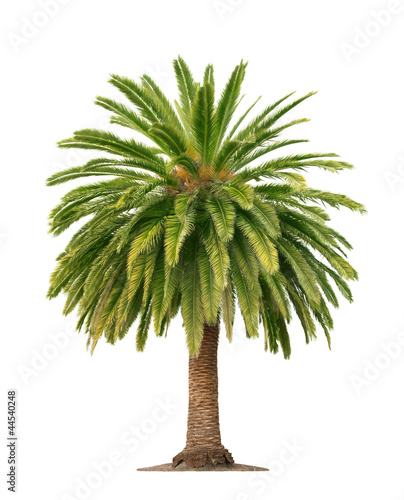 Foto op Plexiglas Palm boom Palm on white background