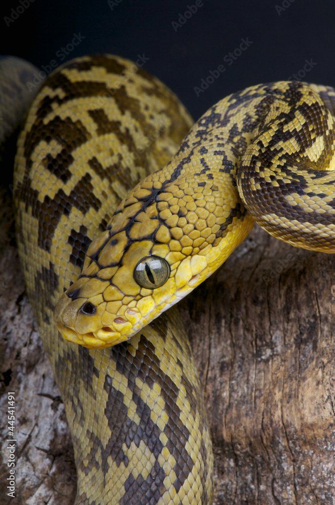 Timor python / Python timoriensis Foto, Poster, Wandbilder bei ...