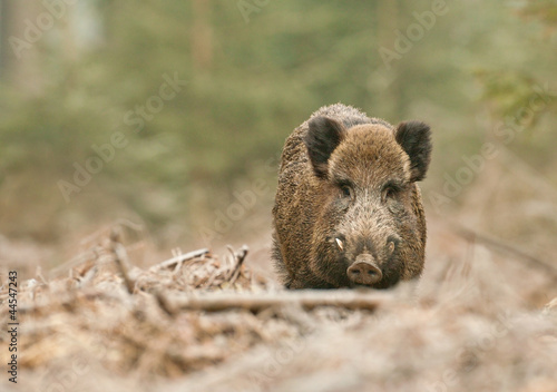 Fotografía Male wild boar in winter