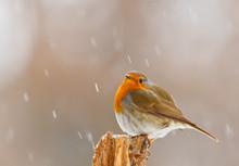 Robin In Winter Snow In Bavaria