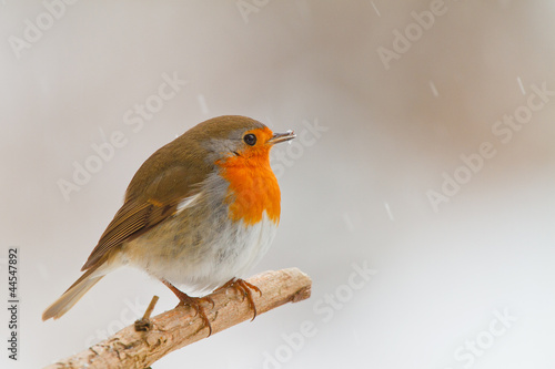 Photo  Robin in winter