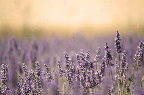 Spoed Foto op Canvas Lavendel Summer Meadow with Flower. Lavender.