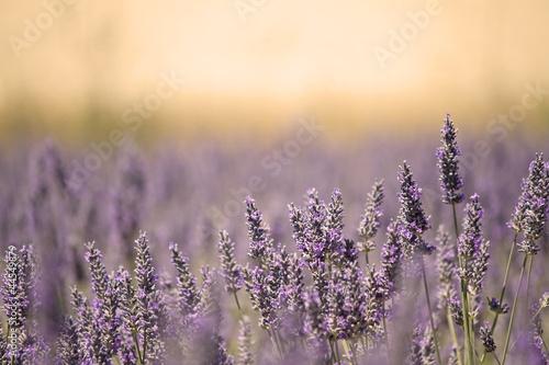 Foto-Duschvorhang - Summer Meadow with Flower. Lavender.