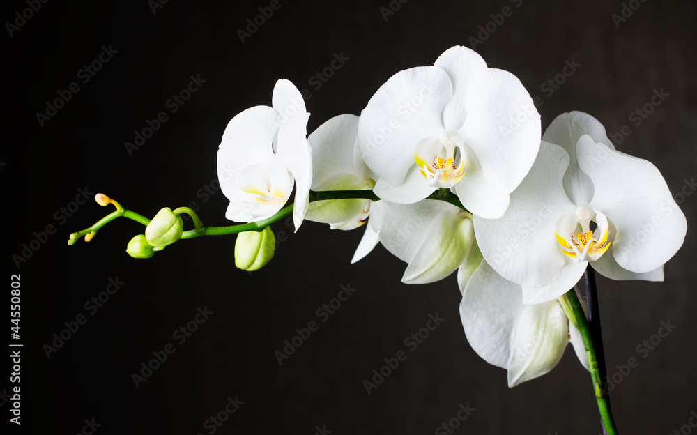 Fototapety, obrazy: Close-up of white orchids (phalaenopsis) against dark background