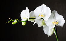 Close-up Of White Orchids (pha...