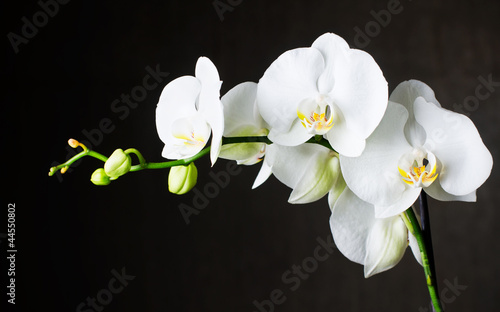 In de dag Orchidee Close-up of white orchids (phalaenopsis) against dark background