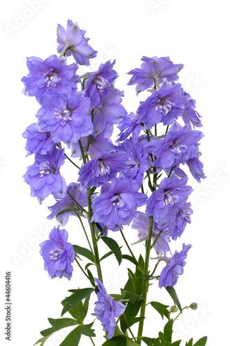 Billede på lærred blue delphinium