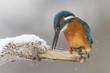 canvas print picture - Eisvogel