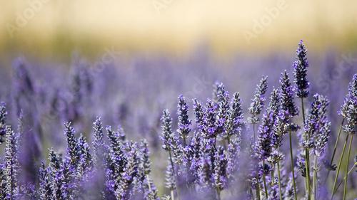 Lavender flower field. Close up. France.