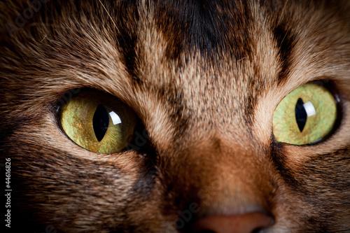 Photo  Somali cat eyes