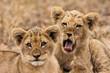 canvas print picture - Junge Löwen (Panthera leo)