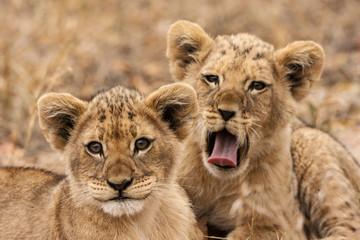 Junge Löwen (Panthera leo)