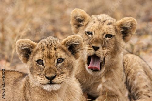 Obraz Młode lwy - fototapety do salonu
