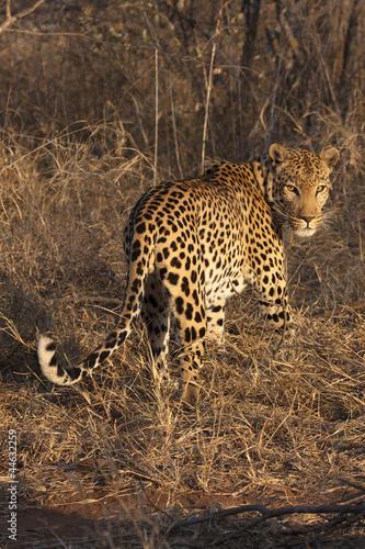 Poster Luipaard Leopard (Panthera pardus)