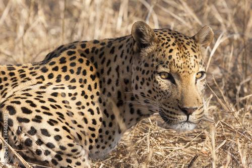 Poster Luipaard Leopard (Panthera pardus) im Porträt