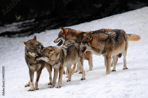 Wolf, Winter #44651029
