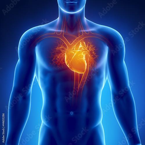 Fotografie, Obraz  Human heart anatomy