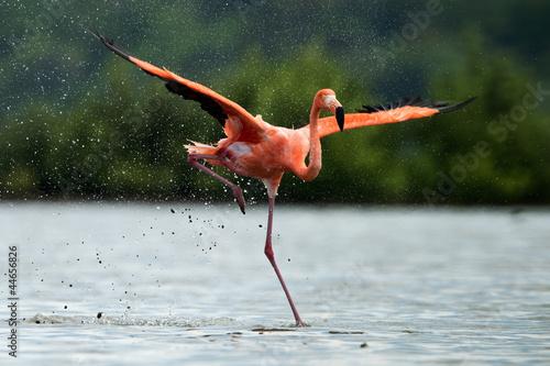 Garden Poster Flamingo The flamingo runs on water with splashes