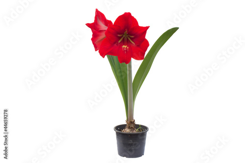 Canvas Print Hippeastrum isolated on white background