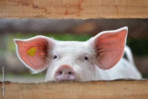 Schwein Fototapete
