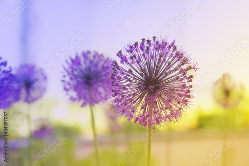 Staande foto Purper Flowering Onion