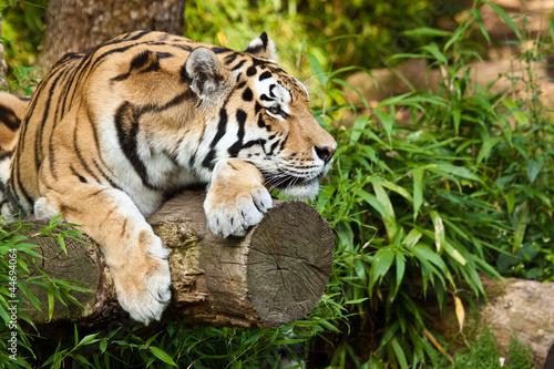 In de dag Tijger Sibirischer Tiger (Panthera tigris altaica)