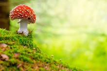 Fly Agaric Or Toadstool In The...