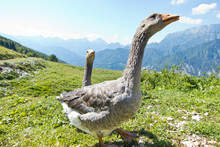 Two Happy Geese In The Mountain