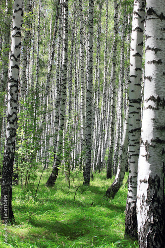Photo sur Toile Bosquet de bouleaux birch grove