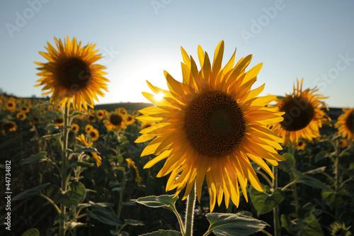 Garden Poster Floral Sunflower