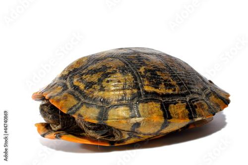 Fotografie, Obraz  Western Chicken Turtle