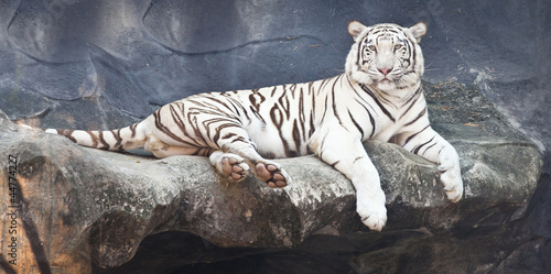 Foto auf AluDibond Tiger White tiger on a rock in zoo
