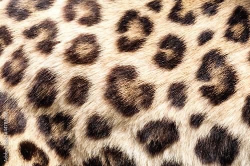 Deurstickers Luipaard Real Live Leopard Fur Skin Texture Background